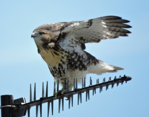 Red-tailed Hawk Juvenile 5