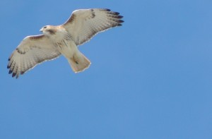 Red-tailed Hawk in Flight 3