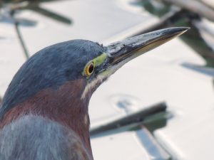 Green Heron Profile 1